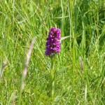 Northern marsh orchid, purple flower in deep green grass