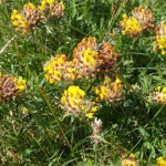 Kidney vetch, bright yellow flowers in deep green grass