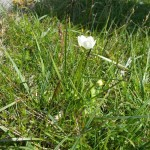 Grass of Parnassus, white flower in grass