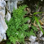 Brittle Spleenwort