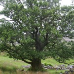 A rather splendid example of an Alder tree