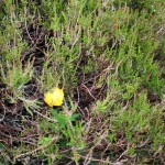 The bright yellow of a Globe Flower peeking out from the heather, which had almost certainly protected the plant form the grazing animals