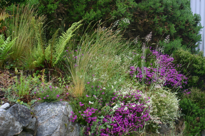 A bit of unplanned garden that works so well - here we have the bell heather mixed with marsh bedstraw, wild grasses and ferns which I had planted