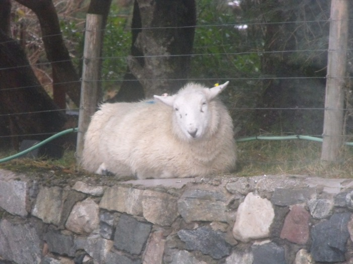 A sheep keeping its feet warm on the wall along our drive