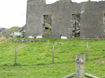 A common sight in the Highlands - old building occupied by sheep!