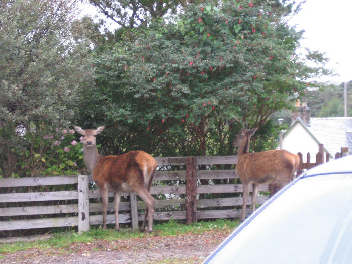 A couple of hinds on our drive taken a few years ago