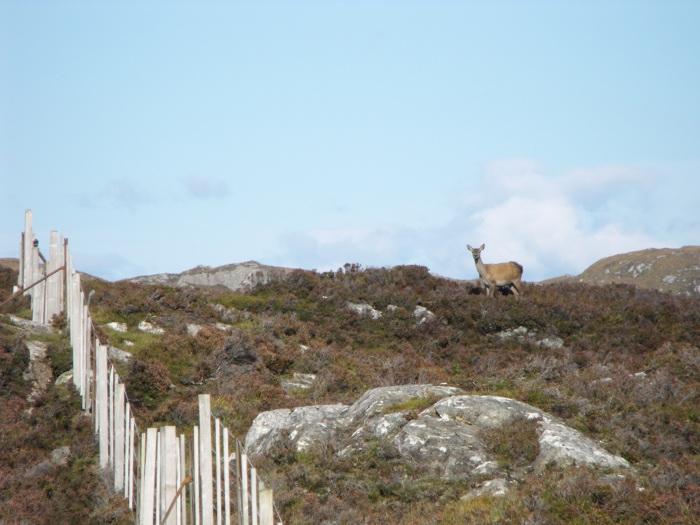 A lone hind on the bleak moorland.