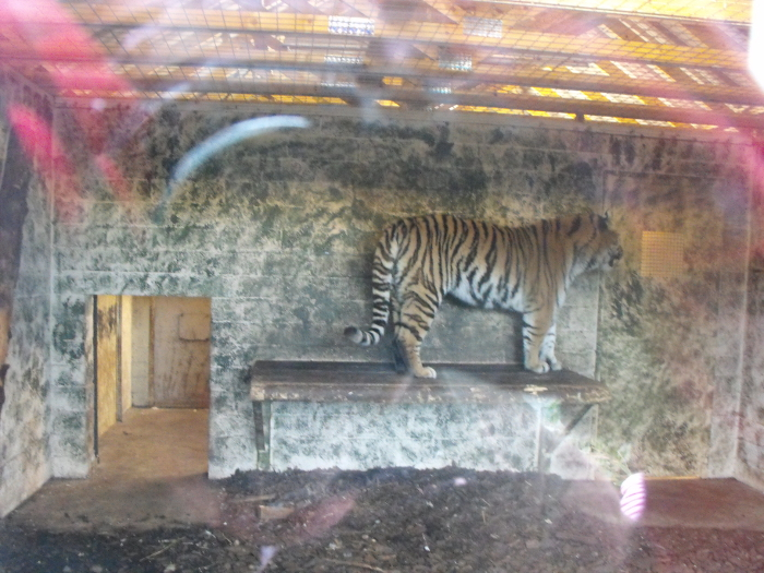 A reflection with a difference - my red gloves reflected in the window to this tiger's den!