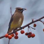 A waxwing feeding on crab apples