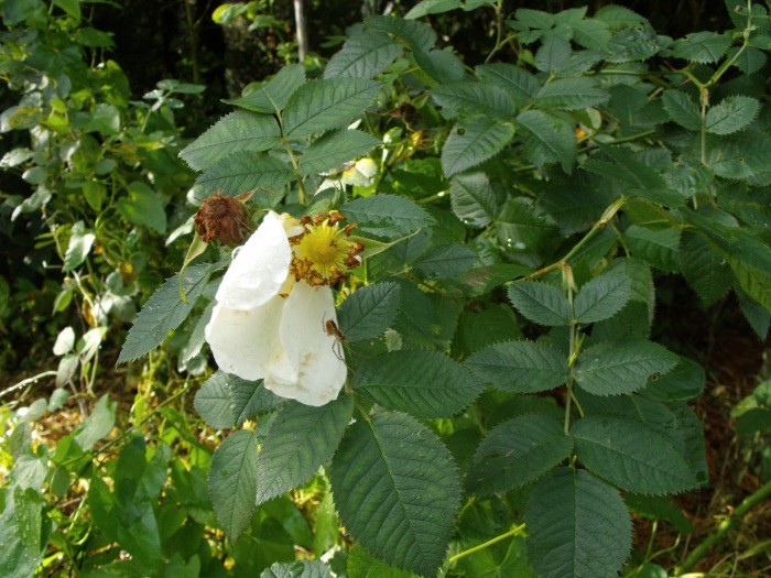 A summer flowering rose, the Alba semi-plena, being visited by a spider