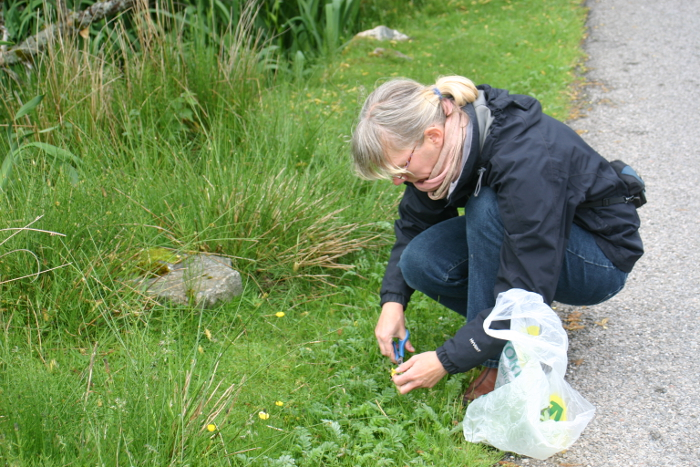 Andrea busy gathering silverweed from the roadside verge