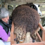 Anna milking the second of the two sheep - who was wondering what I was up to!