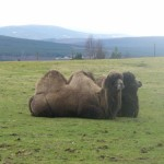 Bactrian camels are maybe not quite so 'in keeping'!