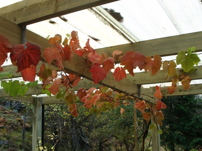 Grape vine looking very autumnal under the shelter
