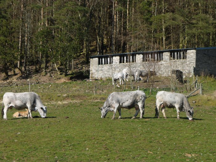 French Blue de Maine cattle which thrive in Ledmore