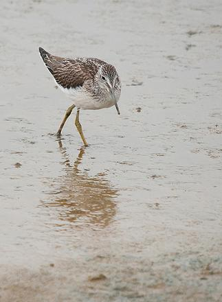 Greenshank wading on a brown, marshy bit of ground.