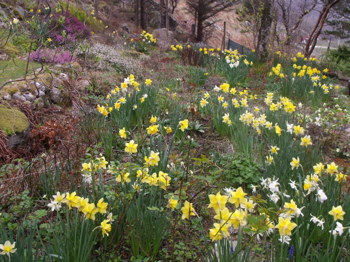 In March in 2012, the daffs looked a picture in sorry contrast to this year when they were still only in bud in March!