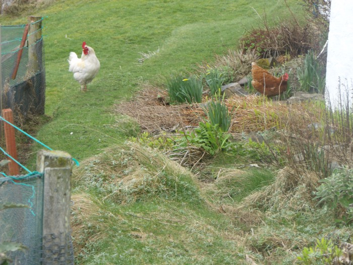 Julie's chickens are certainly free range! Here they are helping in the garden...