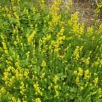 Lady's bedstraw - whose roots give a good red dye