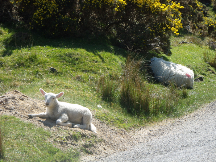Lamb basking in the sun while mum attempts to keep herself cool!