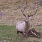 Monarch of the Glen - not a red but a Bukhara deer