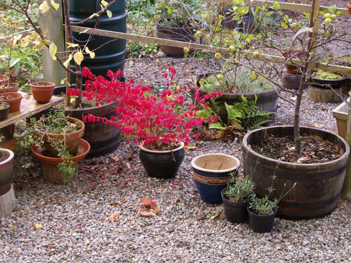 My spindle tree looking similarly autumnal under the shelter