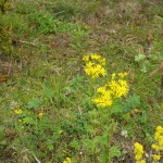 Ragwort - which is suffering from a bad reputation just now, but makes a lovely dye plant