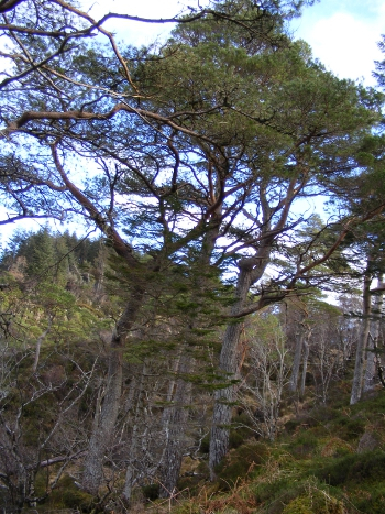 Scots pine near the river