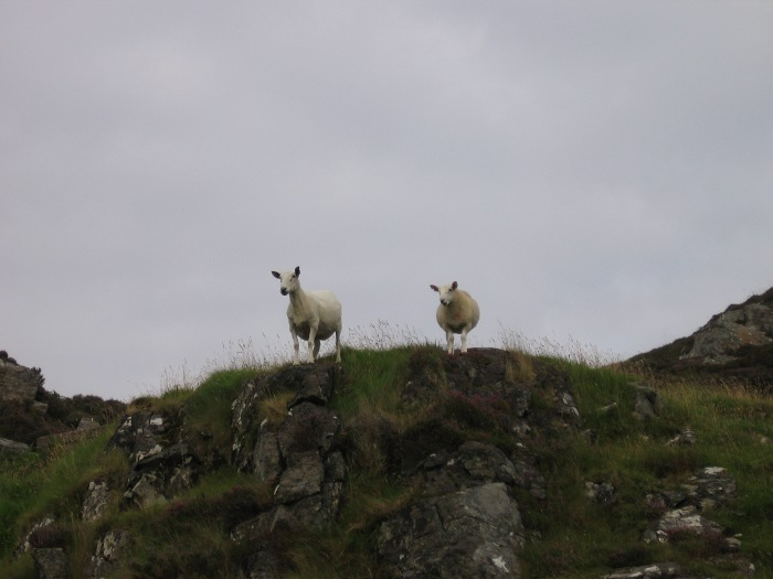 Sheep on the skyline - our local landscape can present fascinating features!