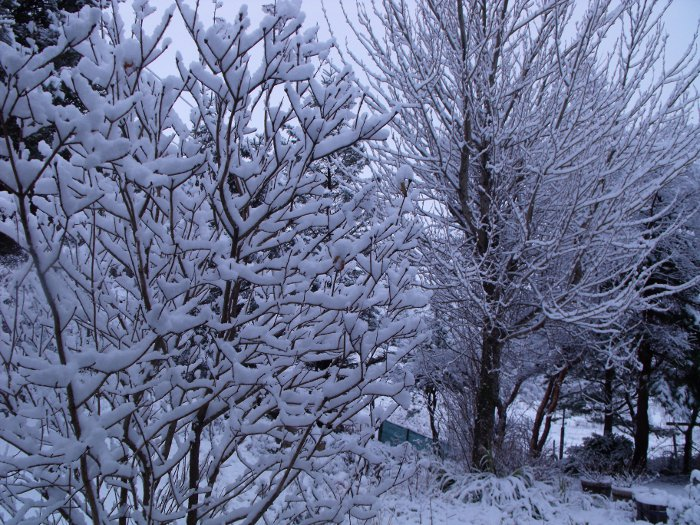 Snow covered trees in our back garden