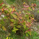 St. John's Wort - another herb with all sorts of uses and which grows like a weed up here