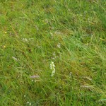 The Lesser Butterfly orchid