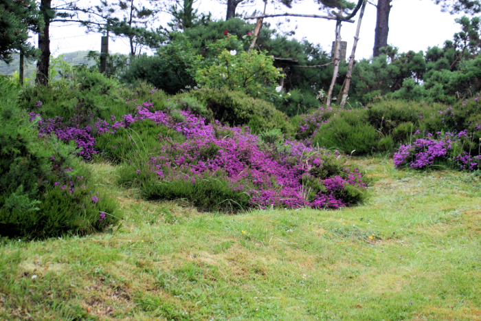 The bell heather is looking very a deep purple this year