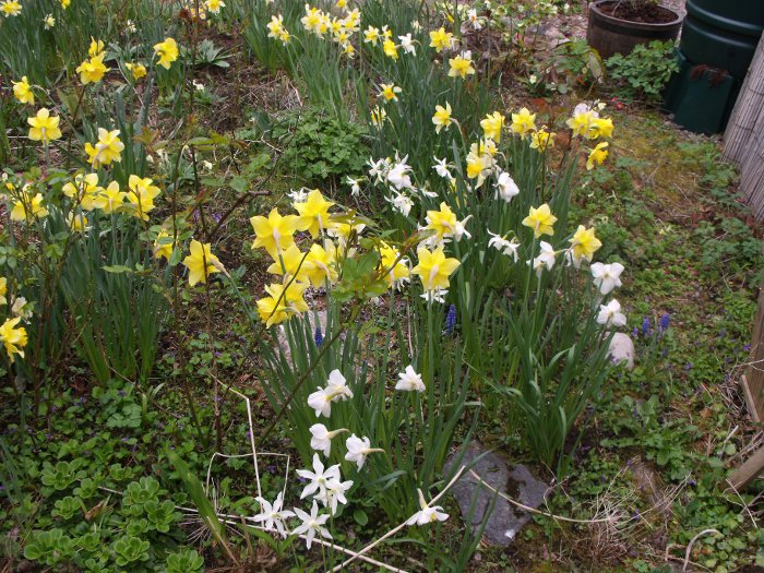 The daffodils in our garden have certainly responded to the warmth!