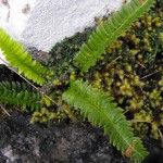The ferns and mosses love wet conditions. This is hard fern - note the piece of wild thyme growing with them.