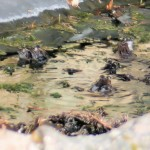 The frogs enjoying the sun in the wildlife pond