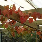 The glorious colours of one of our vines - taken last year. They are not so good this year...