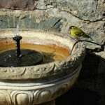 The one bird I could photograph - a siskin on the small fountain in our garden