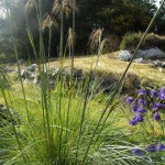 The tall flowering stems of stipa gigantica were admired by the members of the club