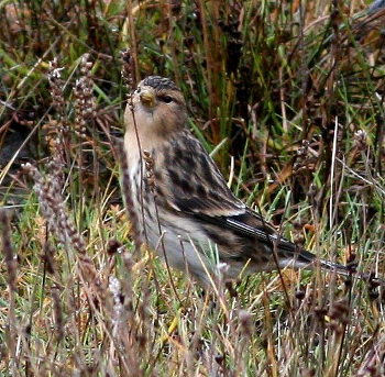 The twite - a pretty iconic creature