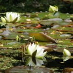 The water lilies were in full bloom in the water garden