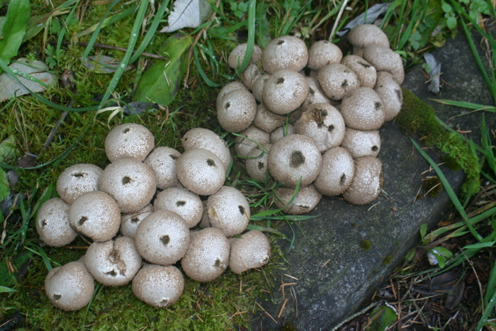 There was a fine collection of puffball mushrooms by the fire station. It has been an exceptional year for mushrooms