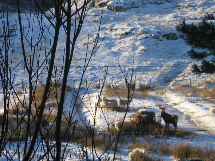 This unusual sight of a stag eating along side sheep was taken on Wednesday of this week!