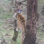 Tiger feeding among the downy birch trees