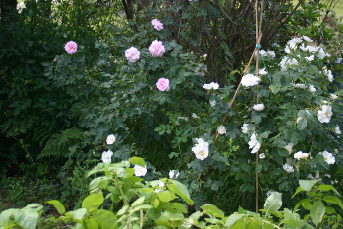 Two of my favourite Alba roses - here Alba semi-plena and celestial serve to mask the compost bin