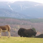 Yaks feeling quite at home with the snow-capped Cairngorms in the background